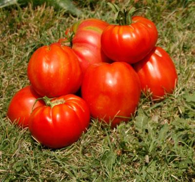 домати снимка biotifulfarm