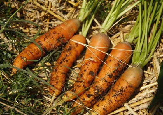 Моркови от Biotifulfarm
