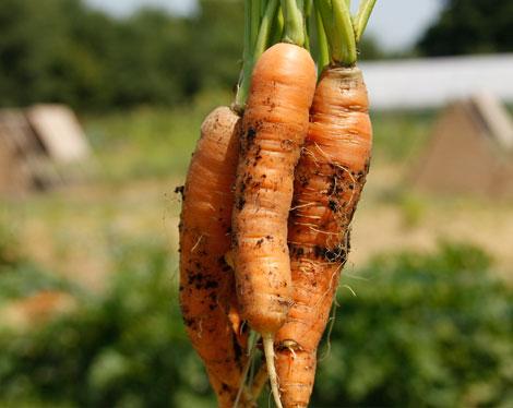 моркови от фермата